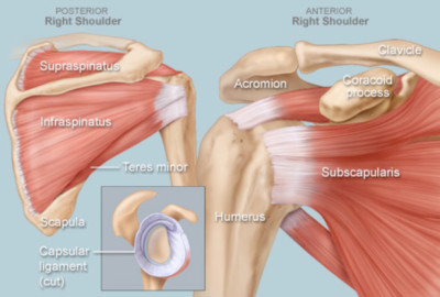 shoulder tendon