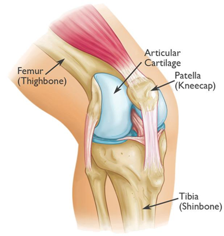 Patella upper limb