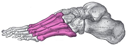紫色标记处即为跖骨。图片来源:维基百科